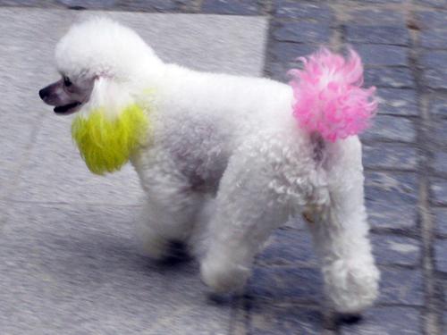 china-dyed poodle